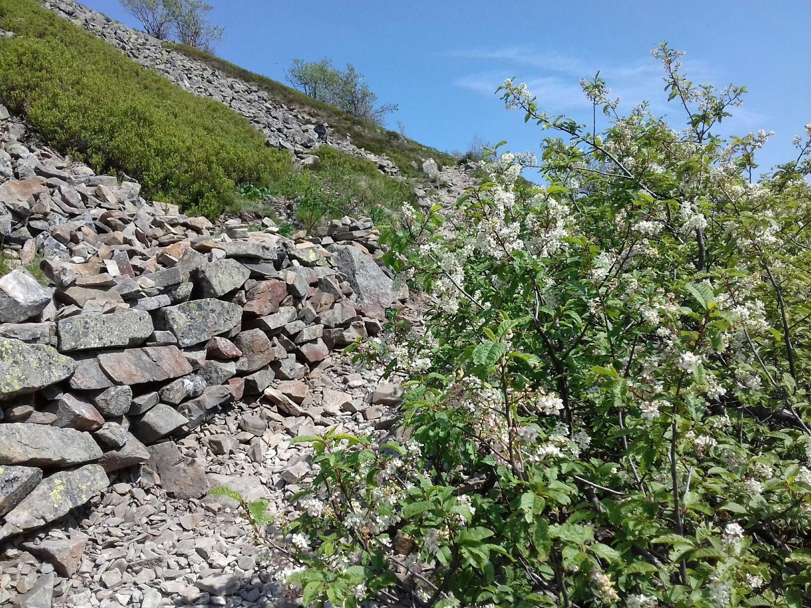 Prunus padus en fleur grand-ballon