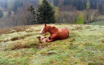 histoire d'amour entre un cheval et une chèvre et chevreau esseulé